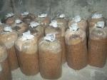 baglog jamur kontaminasi jamur liar